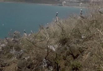Nature Foundation Records Return of Sint Maarten National Symbol: the Brown Pelican.